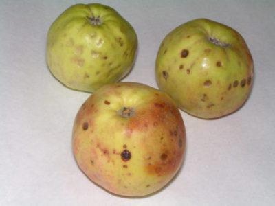 Болезни плодов при хранении. Неинфекционные болезни