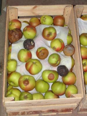 Инфекционные болезни при хранении плодов.