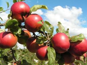 яблоня сорт Заславское