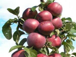 яблоня сорт Имант