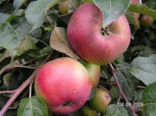 Яблоня. Зимние сорта. Антей