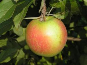 яблоня сорт Теллисааре