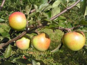 яблоня сорт Чаравница