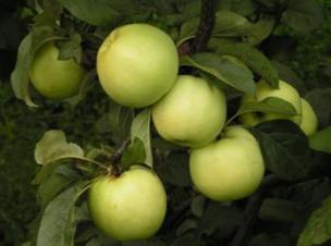 яблоня сорт АНТОНОВКА обыкновенная