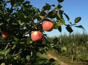яблоня сорт Ауксис