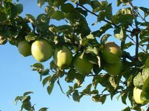 Сорт яблок на а