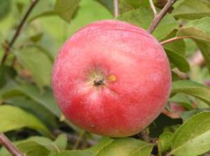 Яблоня. Зимние сорта. Белорусское малиновое