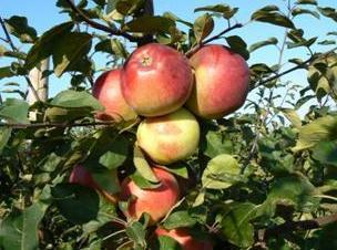 Яблоня. Зимние сорта. Белорусское сладкое