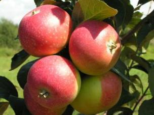 Летние сорта яблок Елена