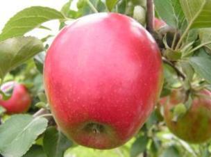 Летние сорта яблок Коваленковское