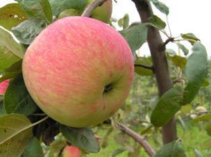 Летние сорта яблок Мелба