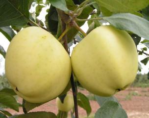 Летние сорта яблок для выращивания в Беларуси