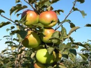 Яблоня. Осенние сорта