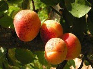 Сорта абрикоса районированные в Беларуси