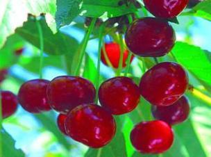 сорта вишни Жывица