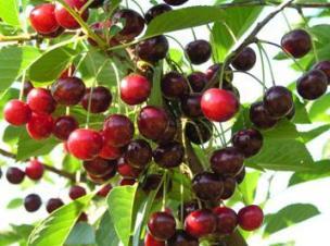 Сорта вишни для выращивания в Беларуси