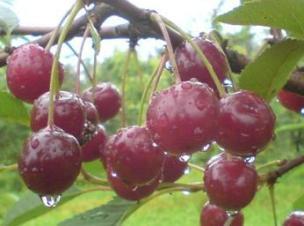 сорта вишни Заранка