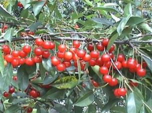 Сорта вишни Сеянец №1