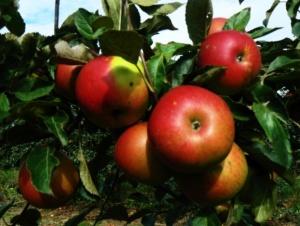 Яблоня. Зимние сорта.