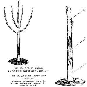 Сад со стволовыми вставками, интеркаляр