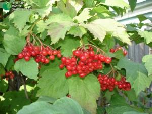 обрезка бузины, вишни войлочной, жимолости, ирги, калины