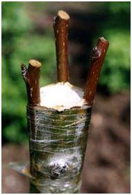 Прививка деревьев. Задачи прививки растений