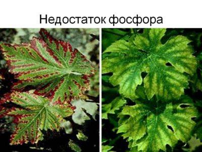 Основные признаки нехватки фосфора у растений