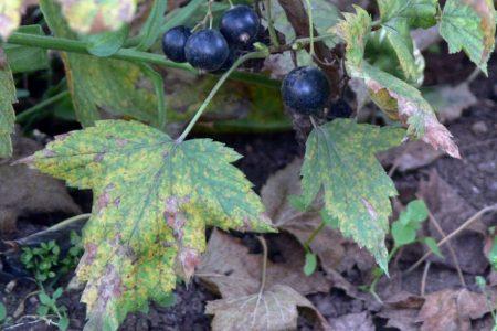Пятнистость листьев в саду. Чем болеет сад?