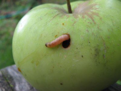 Плодожорка - яблонная и сливовая. Меры борьбы