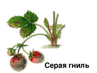 Плодовая гниль и серая гниль земляники