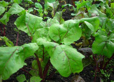 Вредители свеклы: нематода, моль и клоп