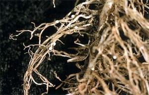 вредители свеклы свекловичная нематода