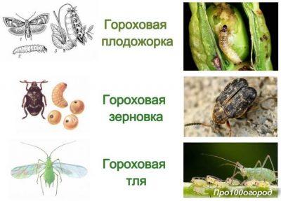 Вредители гороха и других бобовых: гороховая тля, плодожорка и долгоносик