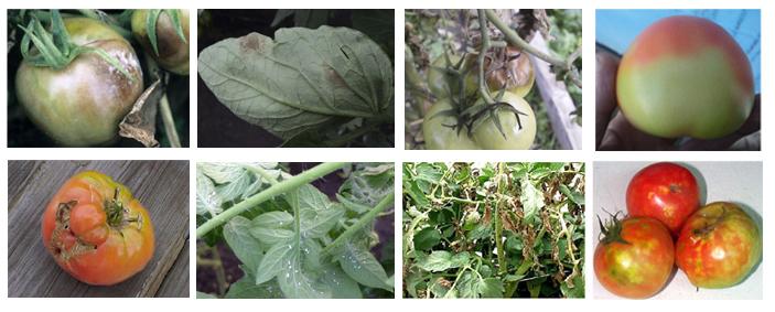 Болезни томатов: столбур, стрик, вершинная гниль, пятнистости