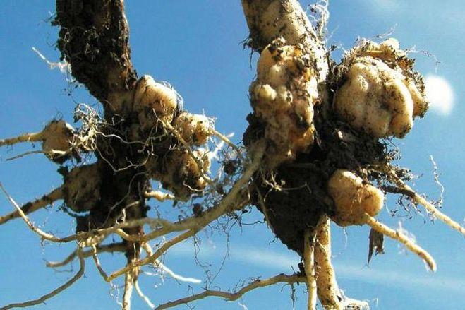 Кила капусты - описание, меры борьбы