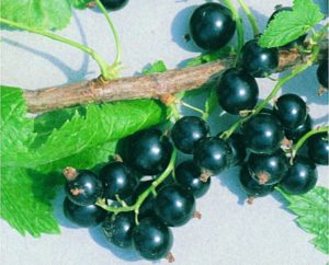 Сорта черной смородины для выращивания в Беларуси