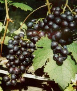 виноград сорта Космонавт