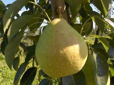 Обрезка растений. Плодовые