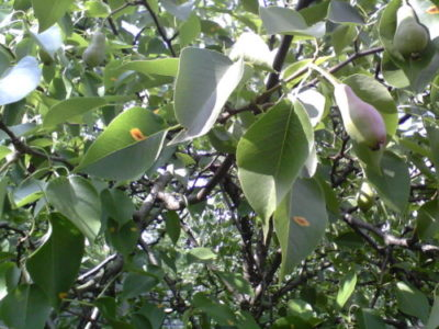 Обрезка груши. Как сформировать и омолодить дерево груши