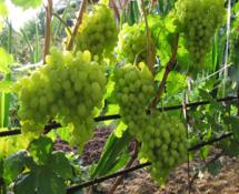 Соседи винограда. Друзья и антагонисты виноградного куста