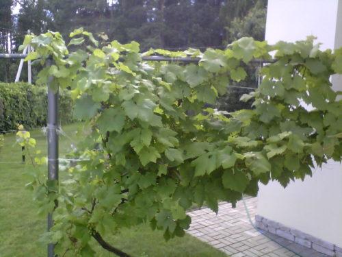 Виноград калина описание сорта достоинства и недостатки