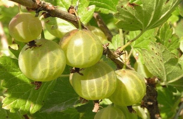 Сорта крыжовника для выращивания в Беларуси