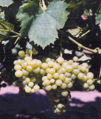 Плодовые звенья винограда – ошибки формировки