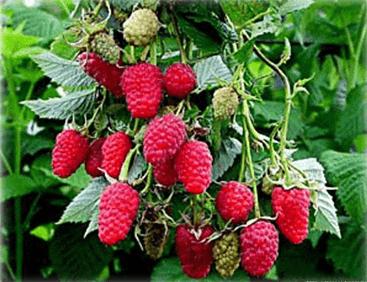 Сорта малины для выращивания в Беларуси