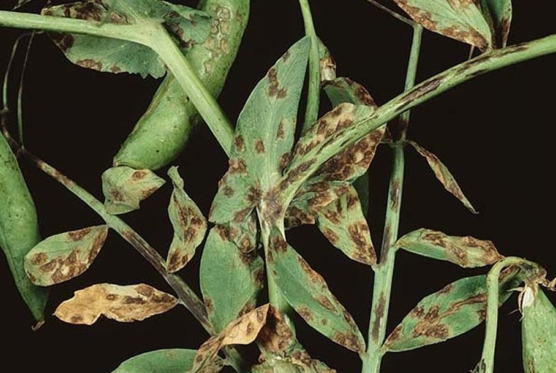 Болезни гороха, фасоли и других бобовых культур
