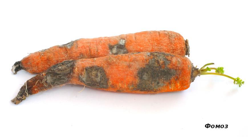 Болезни моркови. Почему гниет морковь