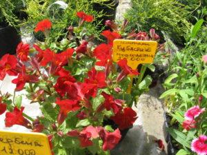 питомники декоративных растений