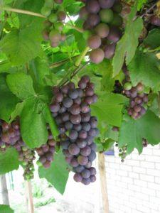 защита винограда от заморозков