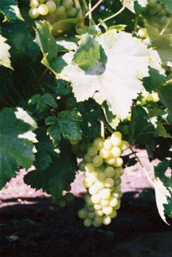 Саженцы винограда в Беларуси. Что такое стандартный саженец винограда