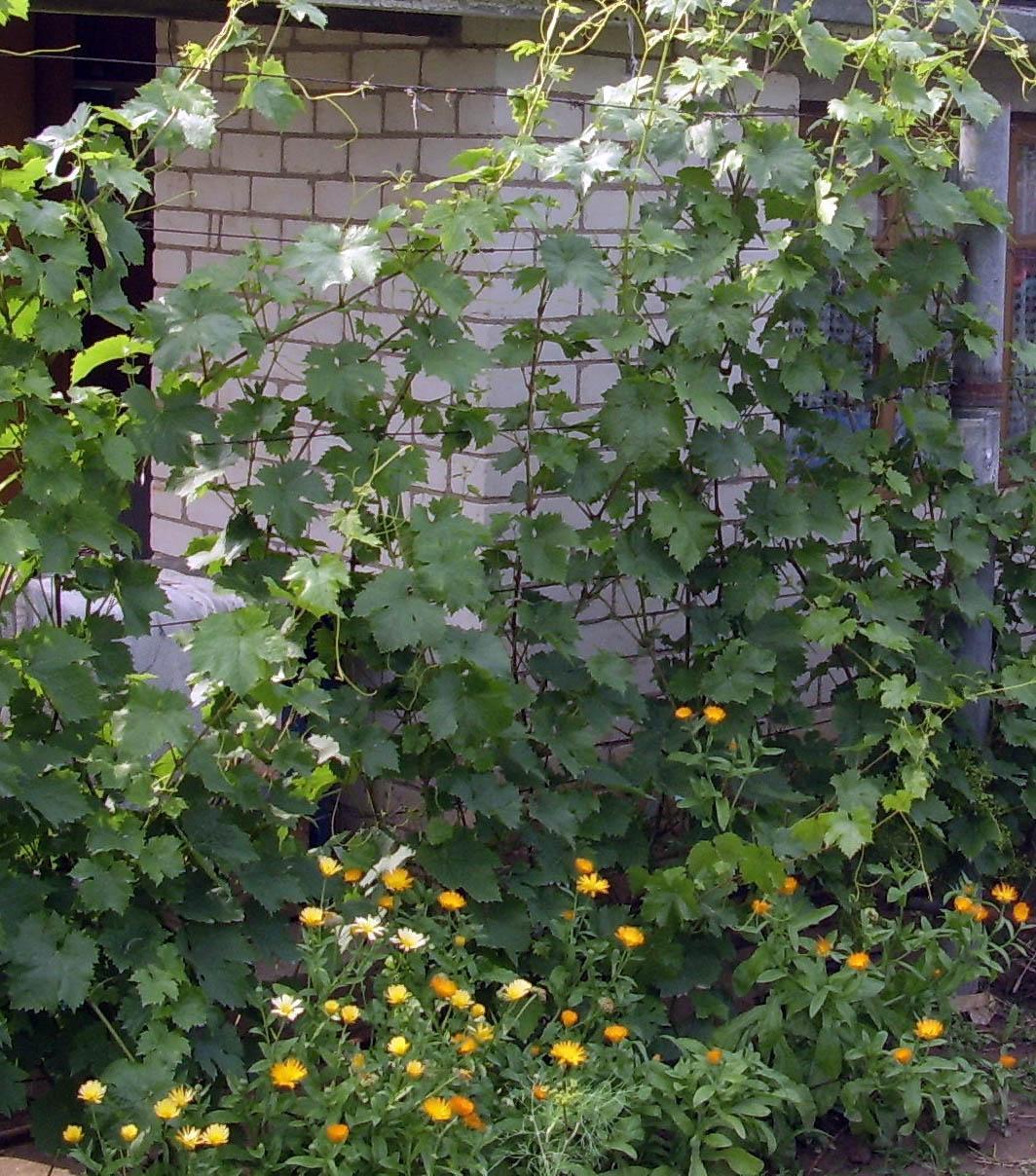 соседи винограда